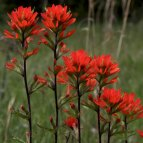Indian Paintbrush. floraofohio.blogspot.com.