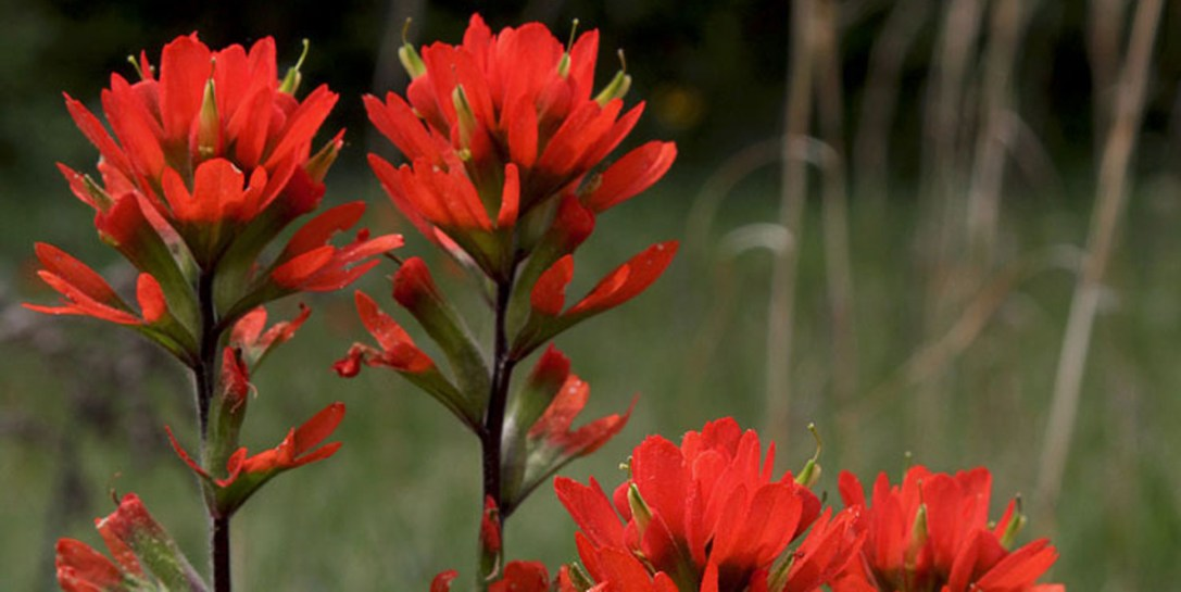 Indian paintbrush, California native wildflower.