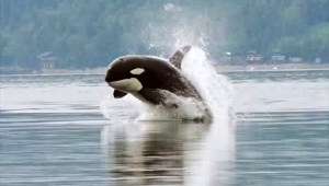 Killer whale (orca) leaping out of the water. Wikimedia.org