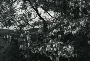Locusts in Bloom