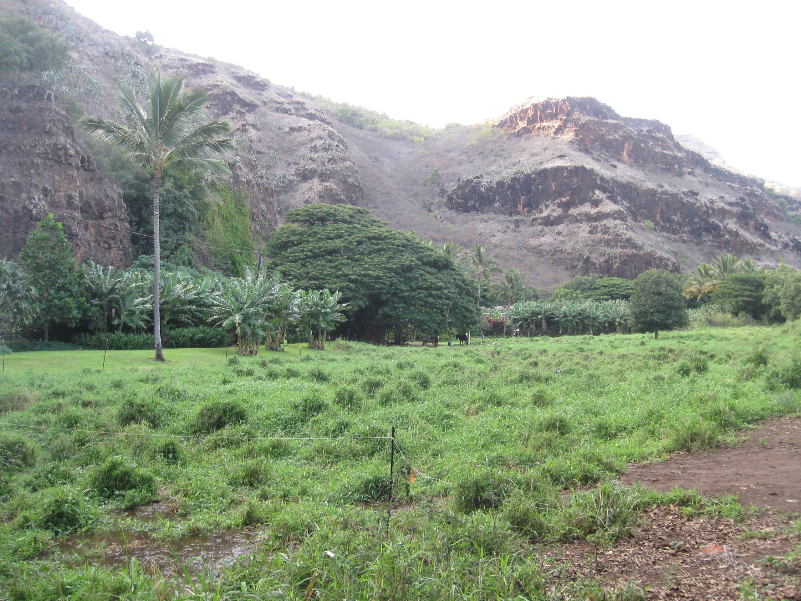 pasture looking mauka