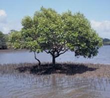 grey-mangroves