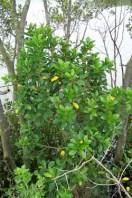 milky-mangroves