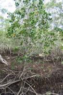 red-mangroves