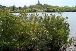 river-mangroves