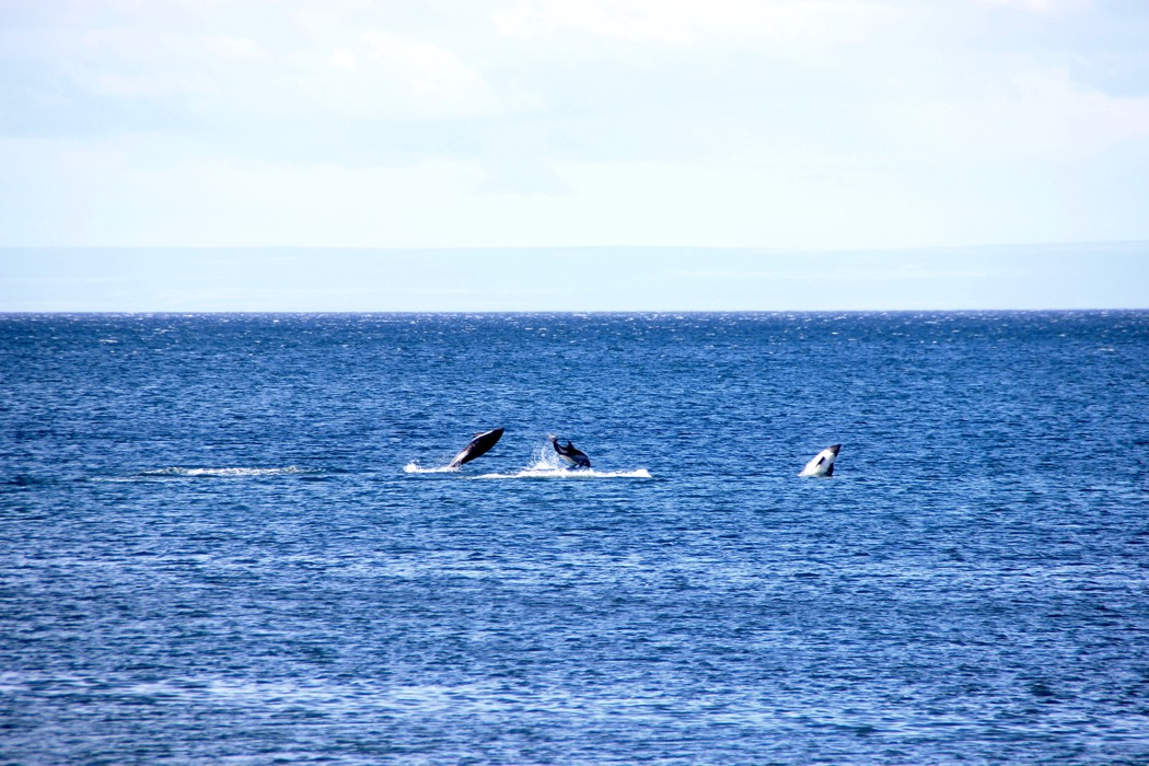 chile_pa_dolphins2_sm