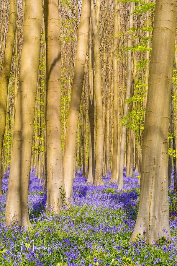 Sun shining on the blooming bluebells in Hallerbos
