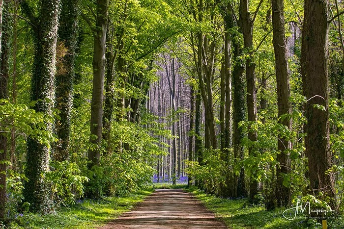 Enchanted path in Hallerbos forest, Belgium