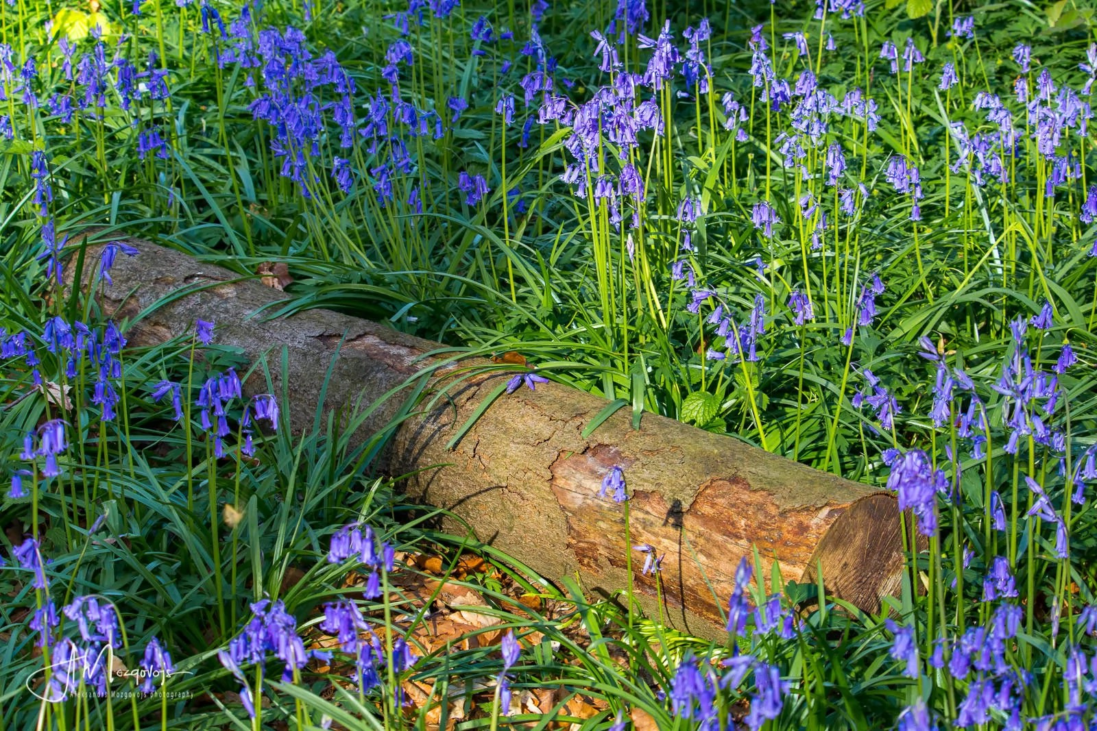 A log surrounded by blooming bluebells in Hallerbos