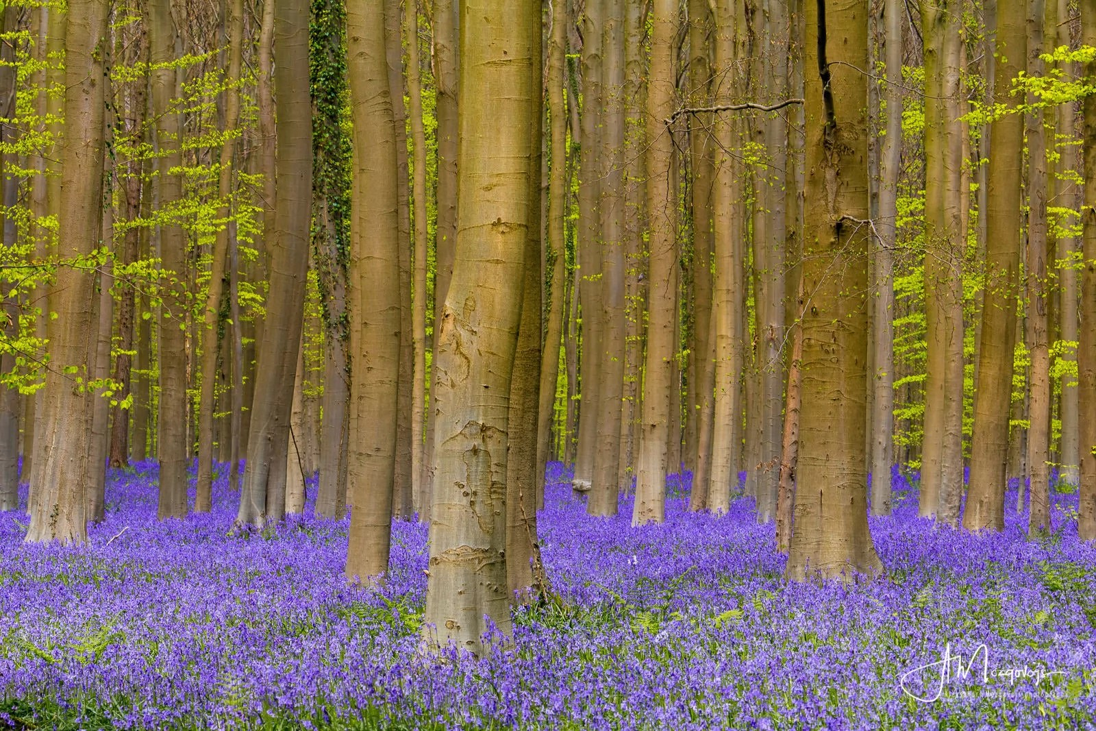 A carpet of blooming bluebells in Hallerbos
