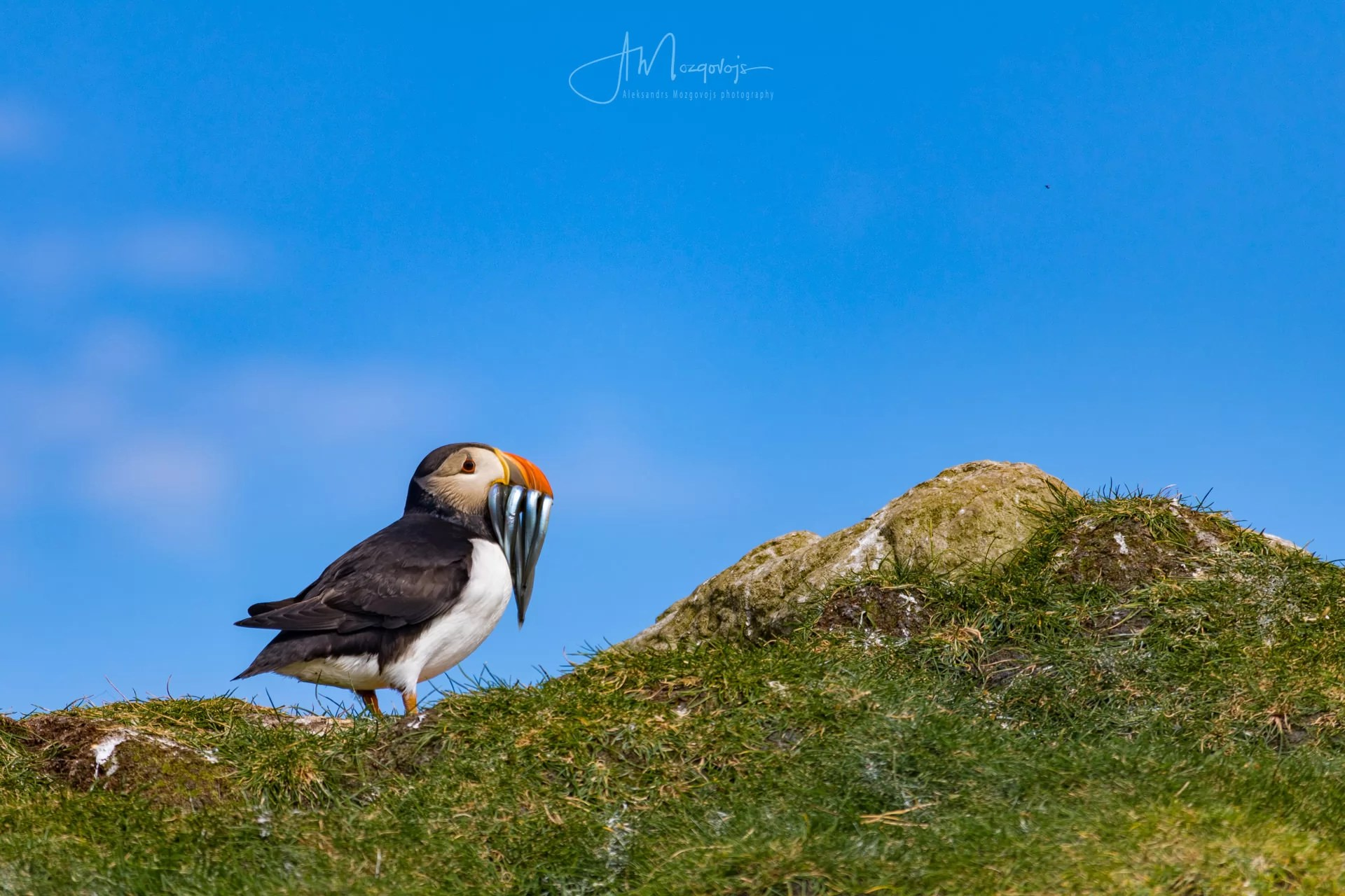 Puffin with prey