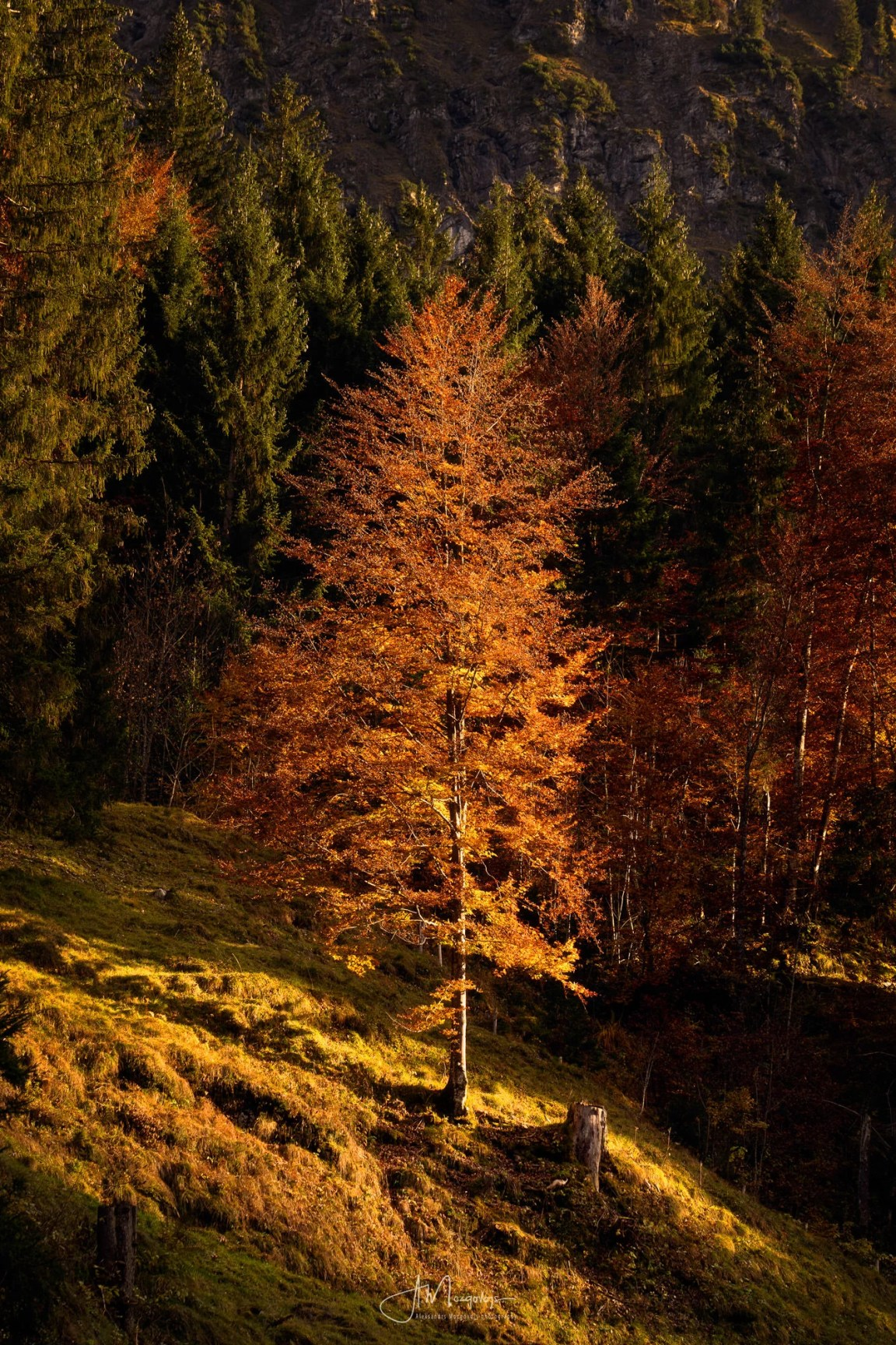 A golden tree on the slopes of Allgäu, lit by the afternoon sun, Bavaria, Germany