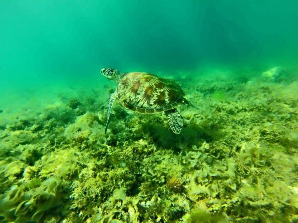 Cebu island Philippines. Turtles in Moalboal
