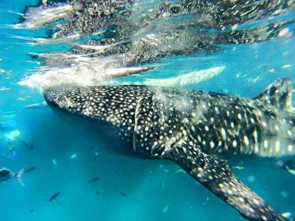 Whale Shark Watching early morning