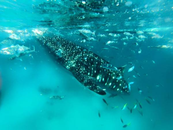Sunsettravellers.com swimming with whale sharks