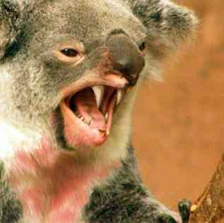 Drop bears be careful when you are moving to Australia
