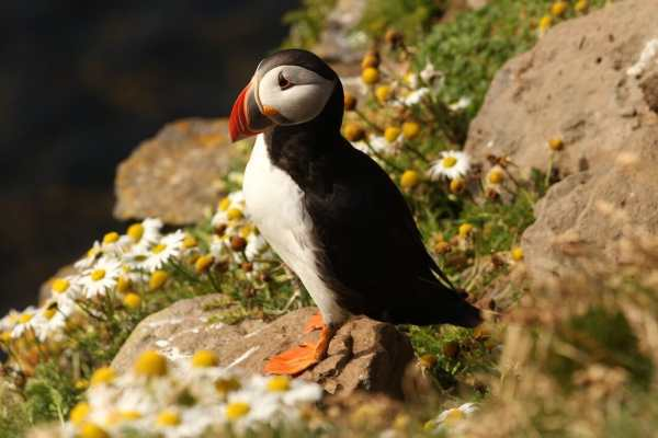 Puffin picturing beautiful Ireland - Visit Ireland