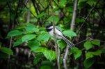 Chickadee Perch