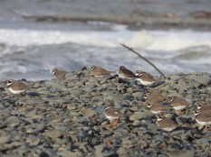 Little Plovers on Ballantrae Beach, November.