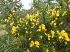 And flowering Gorse.