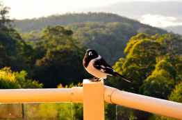 Plump and happy butcherbird after a feed.