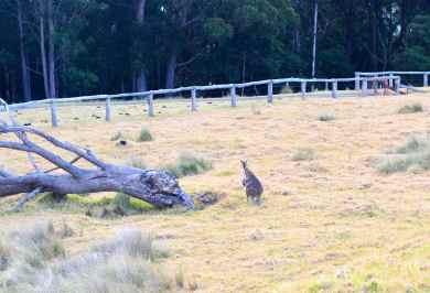 Wallaby at Spicers Peak Lodge