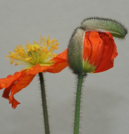 Poppy Emerging