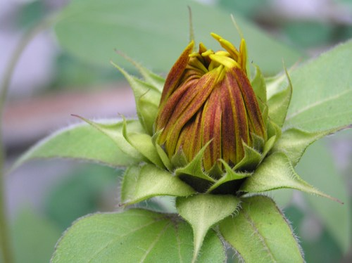 Sunflower-Bud