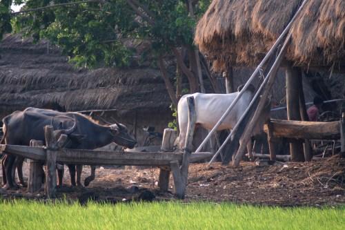 Brahma Bulls