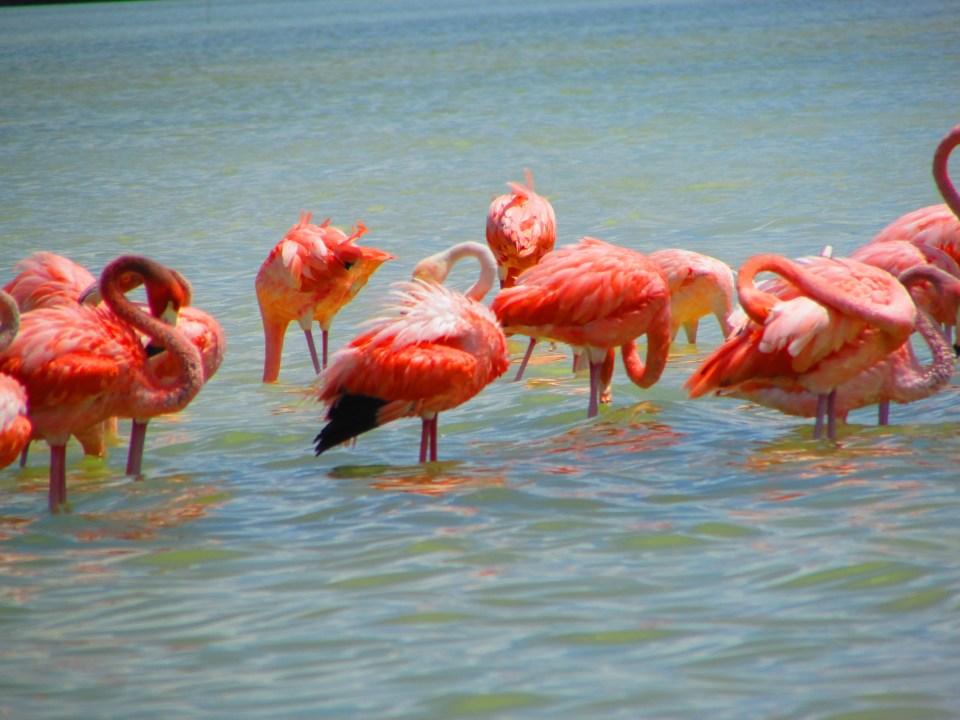 Celestun Flamingos, Mexico