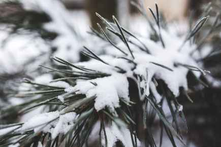 pine tree with fresh snow