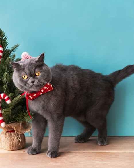 black cat looking pierce