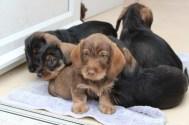 Indie pups 7 weeks (18) (800x533)