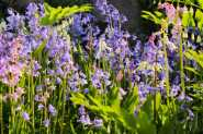 Bluebells and Solomons Seal 6422Edit 2013.05.31Blog2