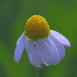 Chamomile Flower 8498CropEdit 2013.07.12Blog
