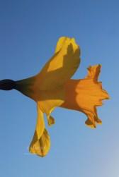 Daffodil 1779Edit 2014.04.08Blog
