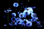 Dandelion 8379Edit3 2012.05.27Web