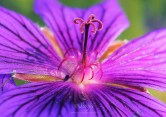 Geranium 6872CropEdit 2013.06.14Blog
