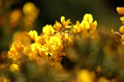 Gorse 4174Edit 2013.04.21Blog