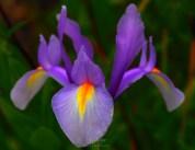Iris 7839CropEdit 2013.06.28Blog