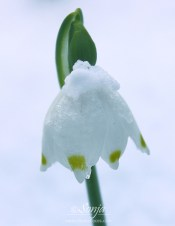 Snowdrop3250CropEdit 2013.03.19Blog