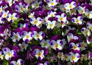 Violas 5228CropEdit 2013.05.10Blog