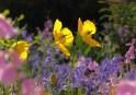 Welsh Poppies 6483CropEdit 2013.05.31Blog