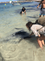 Tegan petting a huge stingray in the shallows