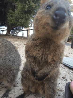 a quokka standing up looking and smiling at the camera
