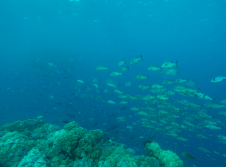School of small fish swimming in the big blue