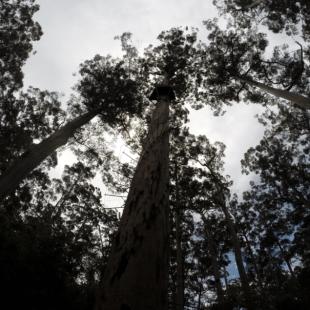 Bicentennial tree in Pemberton