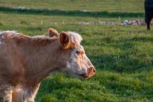 A cow in a very green field with a ridiculous mini fringe