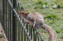 A squirrel standing on the fence leaning over