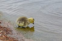 Baby duck standing in the shallow water of a lake in Hyde Park, yellow with brown fluff on its back, pecking at the water